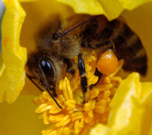 A honeybee Apis mellifera collecting pollen from the flower of a horned poppy Flavium glaucum on the island of Crete Greece ** Note: Slight blurriness, best at smaller sizes
