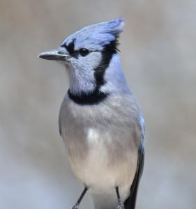 Blue Jay Bird,Close Up