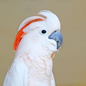 bigstock Cockatoo    Portrait-Of-A-Salmon-crested-C-58007756