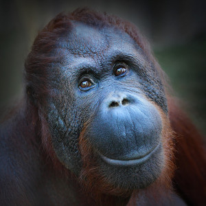 bigstock Orangutan  Happy-smile-of-The-Bornean-ora-48943046