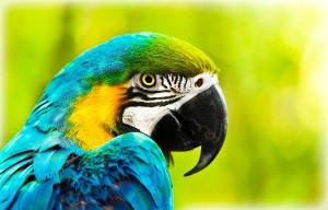 bigstock-parrot bird African-macaw--31750874