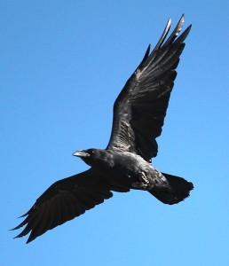 wik  Corvus_cryptoleucus_flight_bottom_view_1