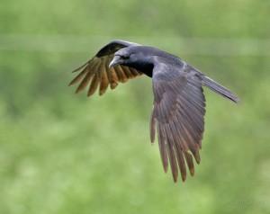 wik Crow_in_Flight_-Delaware-8