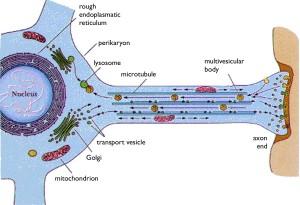 Neuron transport