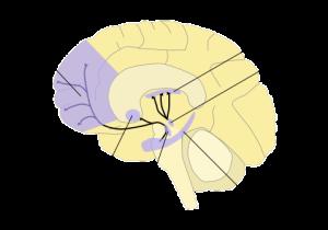 PD Dopamine_pathways