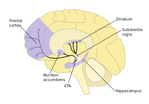 Pleasure circuits in the brain pd dopaminepathways ccuart Images