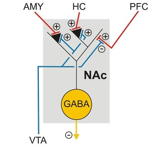 Ras67   Neuronal_connections_of_nucleus_accumbens