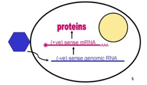 Grab  negative sense RNA  Jpeg