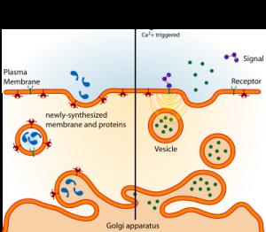 PD from golgi-Exocytosis_types