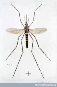 W0002050 Painting of mosquito, Aedes aegypti