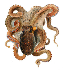 PD Octopus FEATURE