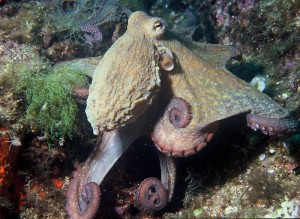 PD Octopus_vulgaris_2