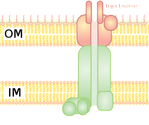 Type 3 Secretion From Adenosine