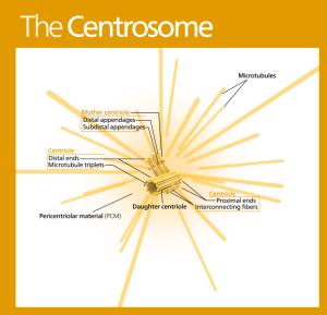 Kelvinsong wik Centrosome_(standalone_version)-en
