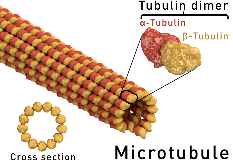 are microtubules the brain of the neuron