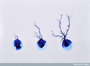 B0009501 Neurone development, artwork