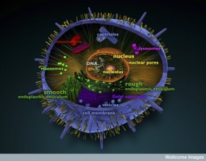 B0009522 Organelles in an eukaryotic animal cell, illustration