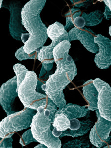 PD 1024px-ARS_Campylobacter_jejuni