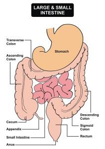 Large & Small Intestine