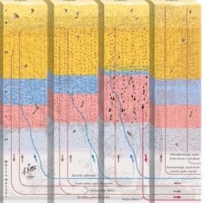 Cortex layers crop