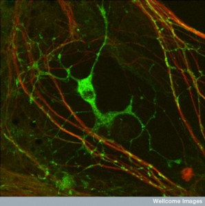 B0003714 Myelination: oligodendrocyte engaging with neurites.