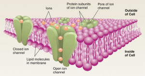action potential - ion channels
