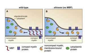 compact myelin