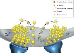 Calcium mechanism AP