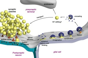 vesicles recycling in neuron