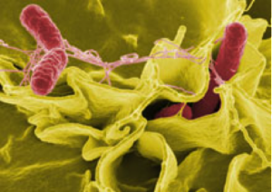 Salmonella cooperate as attack gut