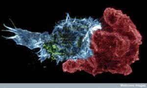 B0010532 Killer T-cell immune synapse, 3D-SIM