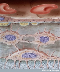 N0019527 Normal anatomy, osteocyte, osteoblast and ca