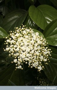 B0009246 Viburnum japonicum