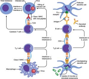 immune synapse 1