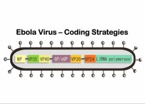 Ebola Virus genes UNC