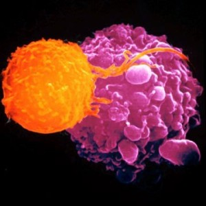 Killer t cells