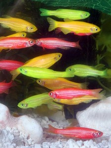 Alexbrn wik GloFish