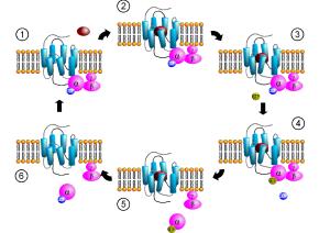 GPCR-Zyklus