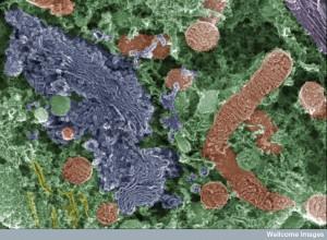 B0008190 Organelles in spiral ganglion neuron
