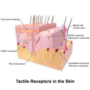 Blausen_0809_Skin_TactileReceptors