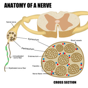 Anatomy Of A Nerve