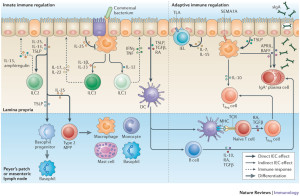 Cells regulate immunity picture