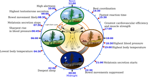 YassineMrabet WIK circadian diagram -Biological_clock_human copy 2