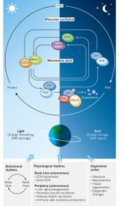 mammalian clock N-f1.2