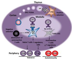 thymus t reg